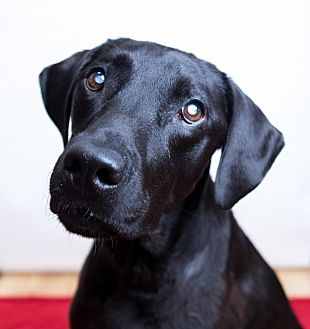 Labrador Retriever Dog for adoption in Phoenix, Arizona - Bell