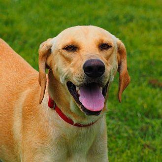 Hound (Unknown Type)/Labrador Retriever Mix Dog for adoption in Washburn, Missouri - Lucie
