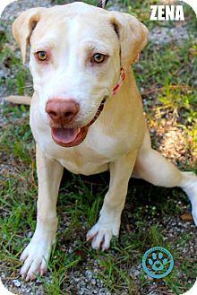 Labrador Retriever/Hound (Unknown Type) Mix Puppy for adoption in Kimberton, Pennsylvania - Zena