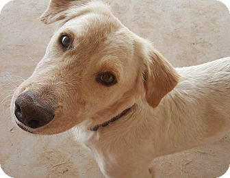 Golden Retriever/Basset Hound Mix Dog for adoption in Las Cruces, New Mexico - Parker