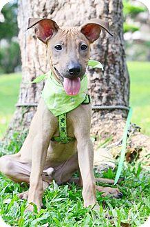 Beagle/Shar Pei Mix Puppy for adoption in Castro Valley, California - Barton