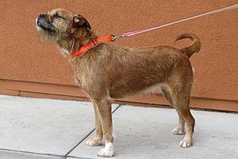 Border Terrier/Boxer Mix Dog for adoption in Santa Monica, California - Amy (aka Chewie Chewbacca)