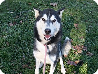 Alaskan Malamute/Siberian Husky Mix Dog for adoption in Augusta County, Virginia - Sage