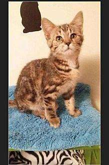 Domestic Mediumhair Kitten for adoption in Huntington, Indiana - Majenica