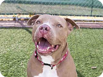 American Pit Bull Terrier Mix Dog for adoption in Agoura, California - Mango