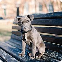Adopt A Pet :: Roo - Reisterstown, MD