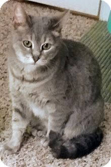 Domestic Shorthair Cat for adoption in Waldorf, Maryland - Alexis