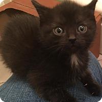 Adopt A Pet :: Fettuccine - Herndon, VA