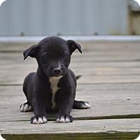 Adopt A Pet :: Kozy - Groton, MA