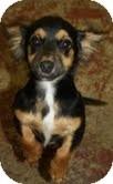 Dachshund/Chihuahua Mix Dog for adoption in Marietta, Georgia - Sydney