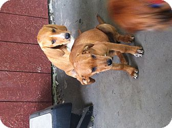 Redbone Coonhound Mix Puppy for adoption in East McKeesport, Pennsylvania - Duke