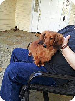 Dachshund Dog for adoption in Gig Harbor, Washington - Koukla