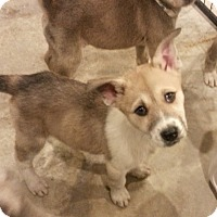 Adopt A Pet :: Rue*ADOPTED!* - Chicago, IL