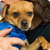 Adopt A Pet :: Amy - Grass Valley, CA