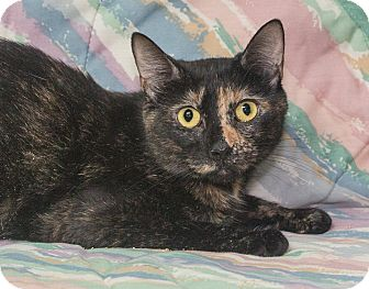 Domestic Shorthair Cat for adoption in Elmwood Park, New Jersey - Roxie