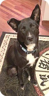 Labrador Retriever Mix Dog for adoption in Cincinnati, Ohio - Shadow