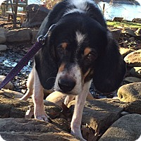 Beagle Mix Dog for adoption in Madison, Wisconsin - Darla:LOVES belly rubs (SC)