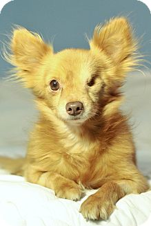 Chihuahua Mix Dog for adoption in Romeoville, Illinois - Fozzie