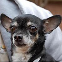 Chihuahua Dog for adoption in Dallas, Texas - Minnie - Chi