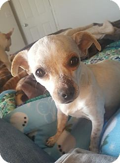 Chihuahua Mix Dog for adoption in Westminster, Colorado - Bindi