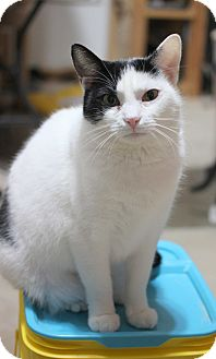 Domestic Shorthair Cat for adoption in Carlisle, Pennsylvania - Roxie