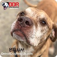 American Bulldog Mix Dog for adoption in St. Clair Shores, Michigan - Billium