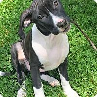 Adopt A Pet :: Presely - Colmar, PA