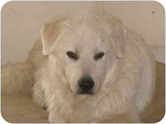 Great Pyrenees Dog for adoption in Croydon, New Hampshire - Holly