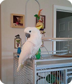Cockatoo for adoption in Lenexa, Kansas - Dolly