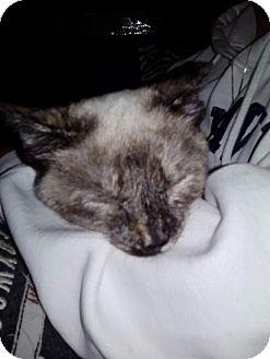 Siamese Kitten for adoption in Portland, Maine - Serena