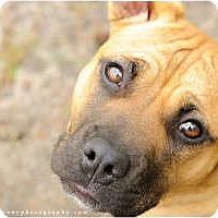 Adopt A Pet :: Bindi - Chesapeake, VA