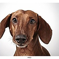 Adopt A Pet :: Harley - New York, NY