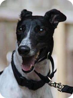 Greyhound Dog for adoption in Nashville, Tennessee - China