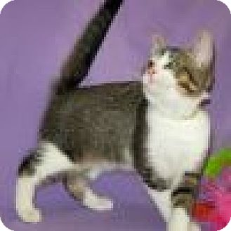 Domestic Shorthair Cat for adoption in Powell, Ohio - Delaney