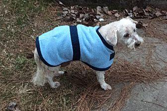 Poodle (Miniature)/Terrier (Unknown Type, Medium) Mix Dog for adoption in Hampton, Virginia - Elliott