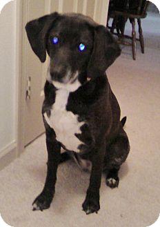 Beagle/Labrador Retriever Mix Dog for adoption in Richmond, Virginia - Mocha