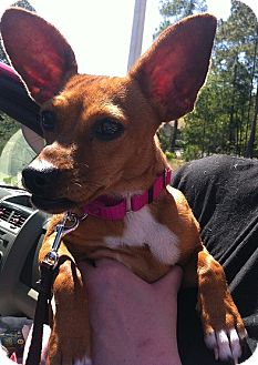 Chihuahua Mix Dog for adoption in Gainesville, Florida - Chiquita