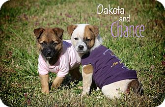 Cattle Dog Mix Puppy for adoption in Albany, New York - Chance