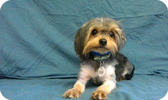Yorkie, Yorkshire Terrier Mix Dog for adoption in Waldorf, Maryland - Rocks