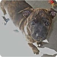 Adopt A Pet :: Mr Pink - resevoir dog litter - Phoenix, AZ