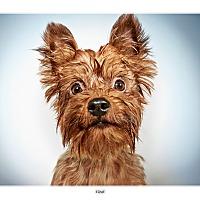 Adopt A Pet :: Ernie - New York, NY