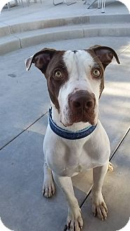 Pit Bull Terrier Mix Dog for adoption in Las Vegas, Nevada - Rusty