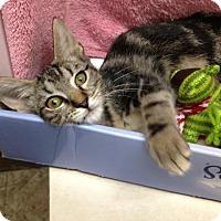 Adopt A Pet :: Tankersly - Dallas, TX