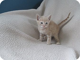 Domestic Shorthair Kitten for adoption in North Plainfield, New Jersey - Sunny
