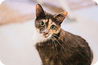 Calico Cat for adoption in Cedar Springs, Michigan - Ashlynn