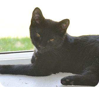 Domestic Shorthair Cat for adoption in Buhl, Idaho - Spots