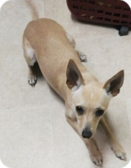 Rat Terrier Mix Puppy for adoption in Kenly, North Carolina - Buddy
