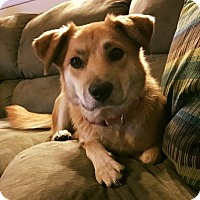 Collie/Carolina Dog Mix Dog for adoption in Hedgesville, West Virginia - Ivy