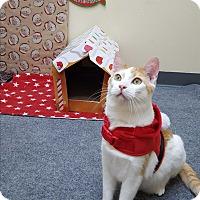 Domestic Shorthair Cat for adoption in Pasadena, California - Nikey
