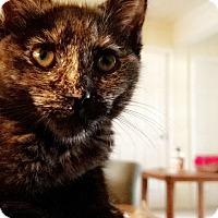 American Shorthair Kitten for adoption in South El Monte, California - Agora
